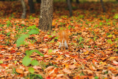 Small curious squirrel on a fall autumn leaves Stock Photo