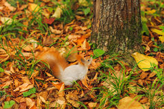 Small curious squirrel on a fall autumn leaves Stock Image