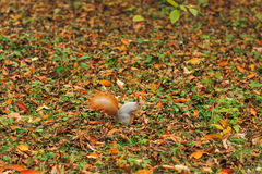 Small curious squirrel on a fall autumn leaves Stock Photos