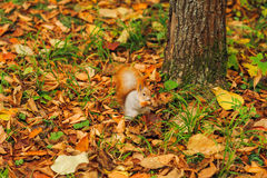 Small curious squirrel on a fall autumn leaves Royalty Free Stock Photo