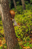 Small curious squirrel on a tree trunk Royalty Free Stock Photo