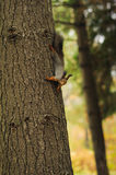 Small curious squirrel on a tree trunk Royalty Free Stock Photos