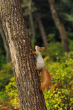 Small curious squirrel on a tree trunk. And looking up Stock Image
