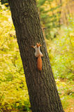 Small curious squirrel on a tree trunk. And looking up Royalty Free Stock Photos