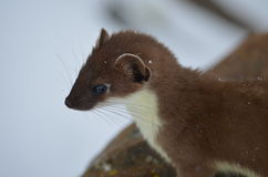 A small, curious weasel Stock Photo
