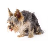 A small curious yorkshire terrier Royalty Free Stock Photo