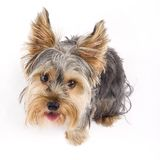 A small curious yorkshire terrier seated Stock Images