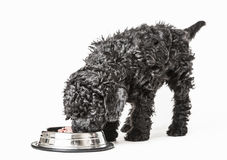 Small curly black poodle pup eating Royalty Free Stock Image