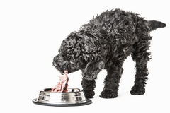 Small curly black poodle pup eating Stock Photography