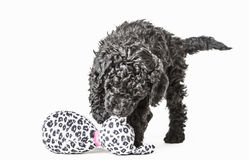 Small curly black poodle pup play with toy Royalty Free Stock Images