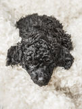 Small curly black poodle pup resting Stock Images