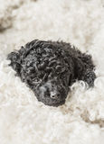 Small curly black poodle pup resting Royalty Free Stock Photo