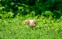 Small cute baby chick in the grass. Cute small baby brown yellow chick pecking in the garden on a sunny spring day in a close view with fresh green grass Stock Photo