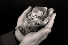 Small cute baby kitten. British Shorthair newly born kitten lying in the hands of a man, hands against black background royalty free stock images