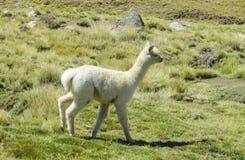 Small cute baby lama Royalty Free Stock Photo