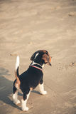 small cute beagle puppy dog walk on the beach stock photo