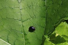 Small cute black bug on the green leaf Stock Photo
