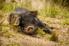 Small cute black pig enjoying the outside, Ecuador. Small cute black pig baby enjoying the outside fresh air, Ecuador stock photo