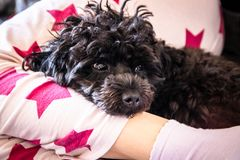 Small cute black toy poodle dog lying on woman`s legs. On the bed royalty free stock photography