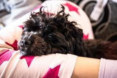 Small cute black toy poodle dog lying on woman`s legs. On the bed royalty free stock image