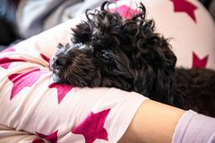 Small cute black toy poodle dog lying on woman`s legs. On the bed stock images