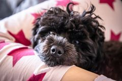 Small cute black toy poodle dog lying on woman`s legs. On the bed royalty free stock photo