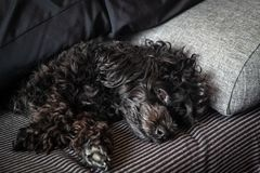 Small cute black toy poodle dog lying on woman`s legs. On the bed stock photography