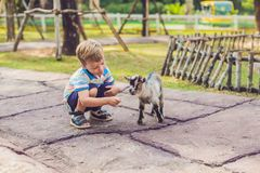 Small cute boy is feeding a small newborn goat royalty free stock images