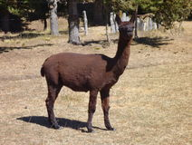 Small cute brown alpaca with curious look. A small cute brown alpaca with curious look Royalty Free Stock Image