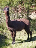 Small cute brown alpaca with curious look. A small cute brown alpaca with curious look Stock Images