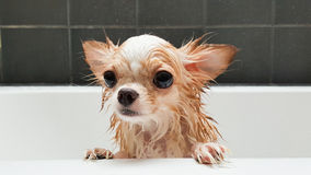 Funny Wet Chihuahua Dog In Bath Stock Photo Image Of