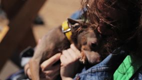 Small cute brown dog shaking on wind is held by woman`s hands on sunny day. Mature female dressed in nice blue jeans jacket and gold bracelet is holding in stock footage