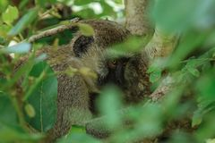 Small and Cute Brown Monkey eating Leaves in the Mikumi National Park, Tanzania royalty free stock image