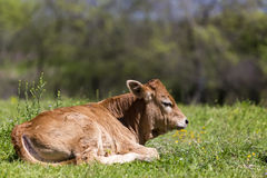 Small cute calf sitting on the green meadow. Newborn baby cow. Royalty Free Stock Photos