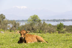 Small cute calf sitting on the green meadow. Newborn baby cow. Royalty Free Stock Image