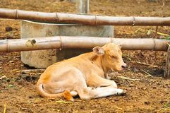 Small cute Calf is sleeping in the farm. Newborn baby cow Royalty Free Stock Image