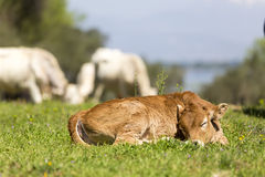 Small cute calf sleeping on the green meadow. Newborn baby cow. Royalty Free Stock Image