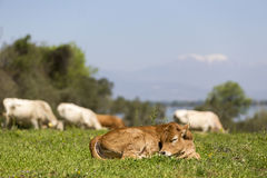 Small cute calf sleeping on the green meadow. Newborn baby cow. Stock Photography