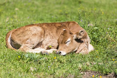 Small cute calf sleeping on the green meadow. Newborn baby cow. Stock Photos
