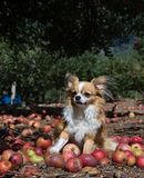 Harvest dog royalty free stock photo