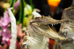 Small cute crocodile laughing with open mouth with lot of teeth. Reptile attack Stock Photo