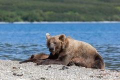 Wild brown bear grizzly with a cute little bears cubs are on the lake