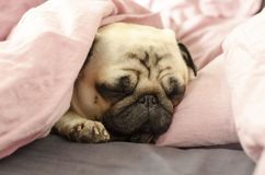 Small cute dog breed pug sleeping in bad.  Stock Images