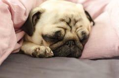 Small cute dog breed pug sleeping in bad.  Stock Photo