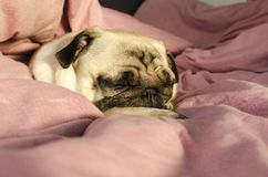 Small cute dog breed pug sleeping in master`s bed.  stock photos