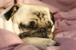 Small cute dog breed pug sleeping in master`s bed.  stock images
