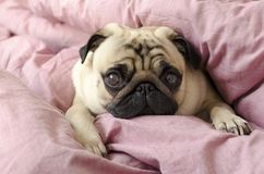 Small cute dog breed pug sleeping in master`s bed.  royalty free stock photography