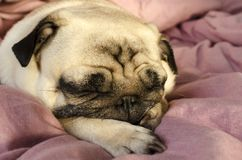 Small cute dog breed pug sleeping in master`s bed.  royalty free stock photos
