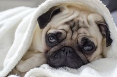 Small cute dog breed pug wrapped in towel.  stock image