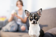 Small cute dog. Close up portrait of small cute dog sitting at home stock photo